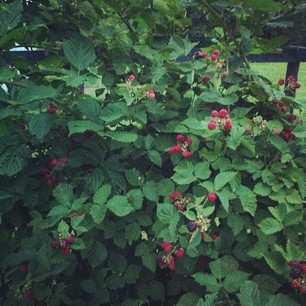 """During late summer we stay on high alert in my family, urgently awaiting the """"Come 'n get 'um!"""" phone call when my aunt and uncles blackberries are ripe for he pick'n. These lovelies made a heaping batch of jam and cobbler."""